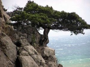 Дерево можжевельник.